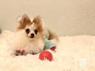 Christmas Puppy #OhMyPet