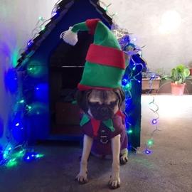Mi Pug elfo de santa #Navidad Oh My Pet!